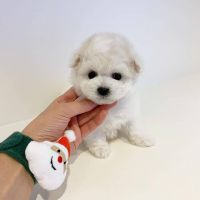 Tea Cup Chihuahua Puppies for sale in Riverside, CA, USA. price: NA
