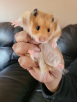 Teddy Bear hamster Rodents for sale in North Windham, CT 06256, USA. price: NA