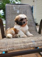 Teddy Roosevelt Terrier Puppies Photos