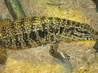 Tegu Reptiles for sale in Baton Rouge, LA, USA. price: NA
