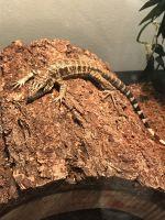Tegu Reptiles for sale in Milwaukee, WI, USA. price: NA