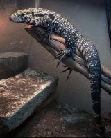 Tegu Reptiles Photos