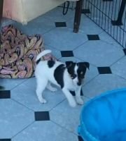 Tenterfield Terrier Puppies for sale in Berkeley, CA, USA. price: NA