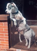 Tenterfield Terrier Puppies for sale in Mobile, AL, USA. price: NA