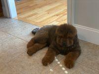 Tibetan Mastiff Puppies for sale in Elgin, SC 29045, USA. price: NA