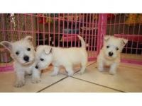 Tibetan Terrier Puppies Photos