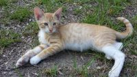 Tiger Cat Cats for sale in Augusta, GA, USA. price: NA