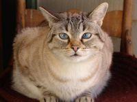 tiger cat cat