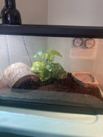 Toad Amphibians for sale in Murrieta, CA, USA. price: NA