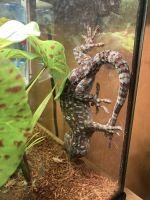 Tokay Gecko Reptiles Photos