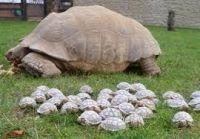 Tortoise Reptiles for sale in Wichita Falls, TX, USA. price: NA