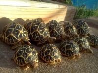 Tortoise Reptiles for sale in New York, NY, USA. price: NA