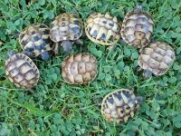 Tortoise Reptiles for sale in Becker, MS 38821, USA. price: NA