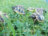 Tortoise Reptiles for sale in Honolulu, HI, USA. price: NA
