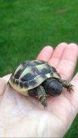 Tortoise Reptiles for sale in Las Vegas, NV, USA. price: NA