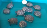 Tortoise Reptiles for sale in Long Beach, CA, USA. price: NA