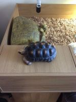 Tortoise Reptiles for sale in Lexington, KY, USA. price: NA