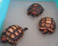 Tortoise Reptiles for sale in Cambridge, MA, USA. price: NA