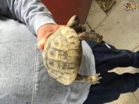 Tortoise Reptiles for sale in Montgomery, AL, USA. price: NA