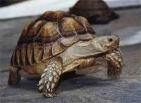 Tortoise Reptiles for sale in Los Angeles, CA, USA. price: NA