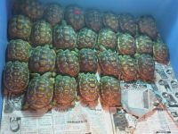 Tortoise Reptiles for sale in Corona, CA, USA. price: NA