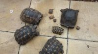 Tortoise Reptiles for sale in Los Angeles, CA 90005, USA. price: NA