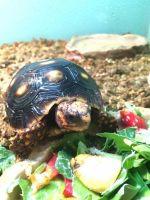 Tortoise Reptiles for sale in Elk Grove Village, IL 60007, USA. price: NA