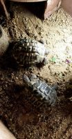 Tortoise Reptiles for sale in Oklahoma City, OK, USA. price: NA