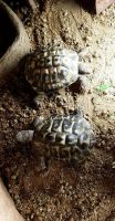 Tortoise Reptiles for sale in Oregon City, OR 97045, USA. price: NA