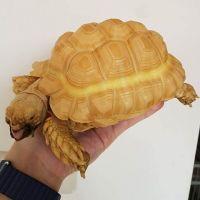 Tortoise Reptiles for sale in Manassas, VA, USA. price: NA
