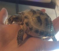 Tortoise Reptiles for sale in Chicago, IL, USA. price: NA