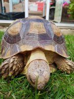 Tortoise Reptiles for sale in Houston, TX, USA. price: NA
