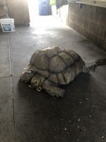 Tortoise Reptiles for sale in Rowland Heights, CA, USA. price: NA