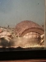 Tortoise Reptiles for sale in Ocean Springs, MS 39564, USA. price: NA