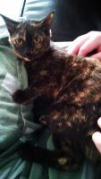 Tortoiseshell Cats for sale in Conneaut, OH 44030, USA. price: NA