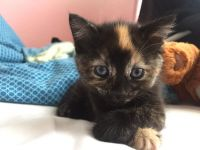 Tortoiseshell Cats for sale in Arlington, VA, USA. price: NA