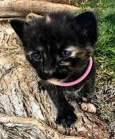 Tortoiseshell Cats for sale in Victorville, CA, USA. price: NA