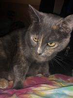 Tortoiseshell Cats for sale in Perris, CA, USA. price: NA