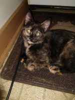 Tortoiseshell Cats for sale in Sheboygan Falls, WI, USA. price: NA