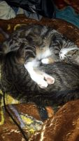 Tortoiseshell Cats for sale in 114 Englewood Dr, Hubert, NC 28539, USA. price: NA