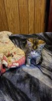 Tortoiseshell Cats Photos