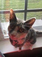 Tortoiseshell Cats for sale in Havelock, NC, USA. price: NA