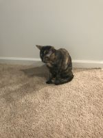 Tortoiseshell Cats for sale in Dawsonville, GA 30534, USA. price: NA