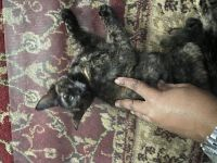 Tortoiseshell Cats for sale in Worcester, MA, USA. price: NA