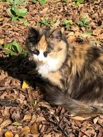 Tortoiseshell Cats for sale in Rock Hill, SC, USA. price: NA
