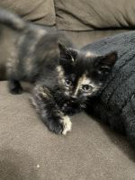 Tortoiseshell Cats for sale in Imperial, NE 69033, USA. price: NA