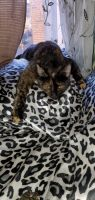 Tortoiseshell Cats for sale in The Bronx, NY, USA. price: NA