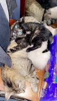 Tortoiseshell Cats for sale in Toledo, OH, USA. price: NA