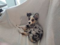 Toy Australian Shepherd Puppies for sale in St Johns County, FL, USA. price: NA