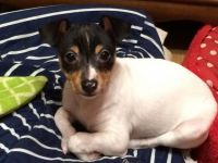 Toy Fox Terrier Puppies for sale in Erie, PA, USA. price: NA